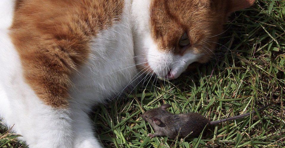 habituer son chat à chasser les rongeurs.